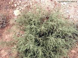 فوائد استعمالات نبات الشيح 3_466120732759d.jpg&
